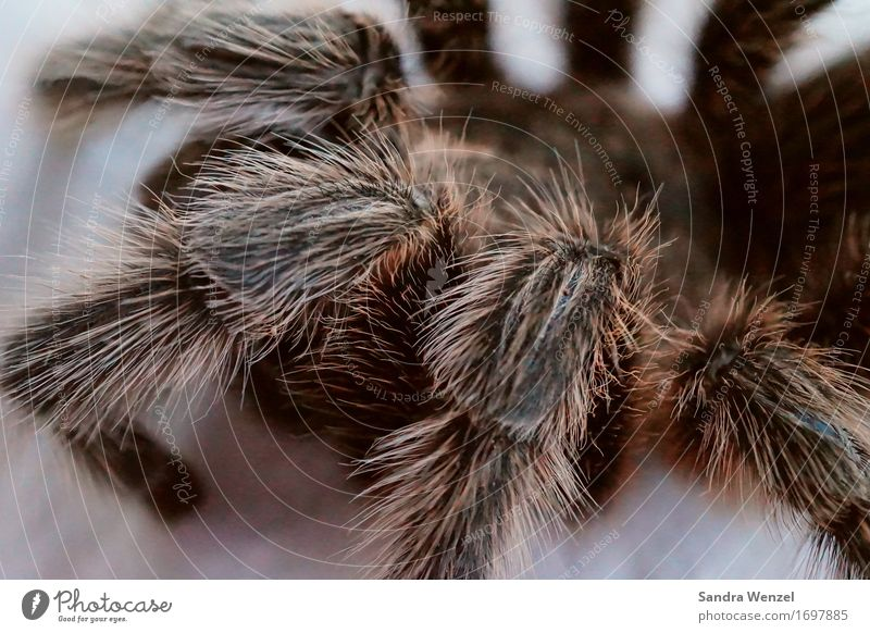 otte Spider 1 Animal Nature Bird-eating spider Tarantula Hair and hairstyles Insect Insect repellent Bite Worm's-eye view Animal portrait Half-profile