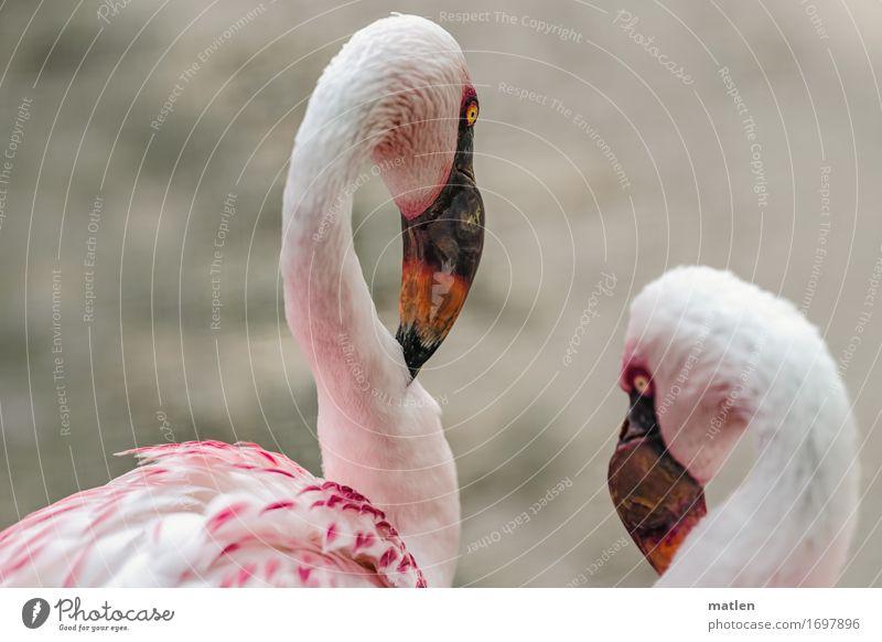 Have you heard? Animal Bird Animal face 2 Yellow Gray Orange Pink White Secrecy Flamingo Beak Neck Telecommunications Colour photo Exterior shot Close-up