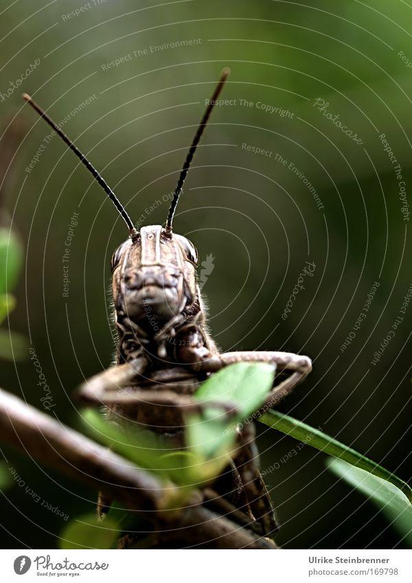 Large grasshopper with long antennae Nature Animal spring bushes Wild animal Animal face Locust Insect Shell Feeler Long-horned grasshopper Monster