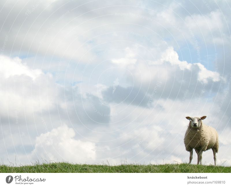 Sky Summer Clouds Animal Curiosity North Sea Farm animal