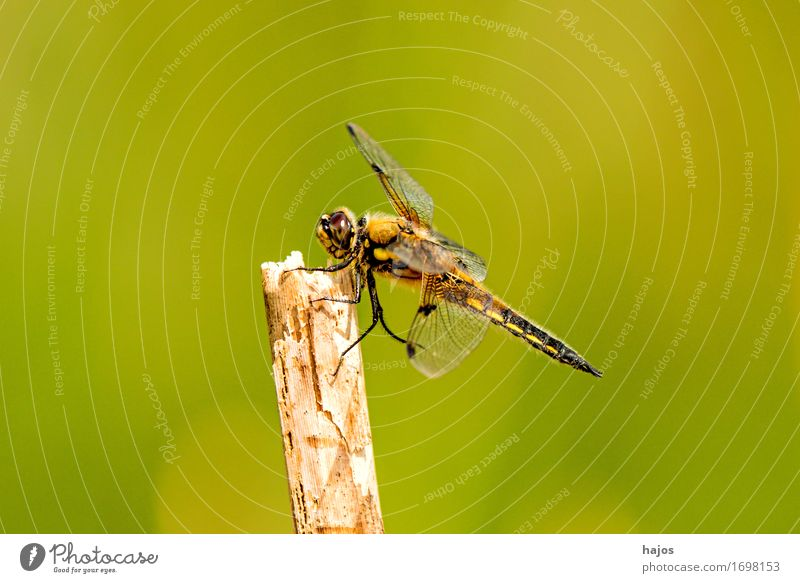 Vierfleck,Libellula quadrimaculata Life Summer Environment Nature Animal Water Leaf Pond Wild animal Sit Large Dragonfly Big dragonfly Insect Living thing