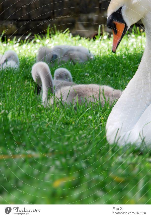 sweet-sweet Nature Grass Park Meadow Pond Brook River Wild animal Bird Baby animal Animal family Beautiful Cute Beginning Environmental protection Swan Beak