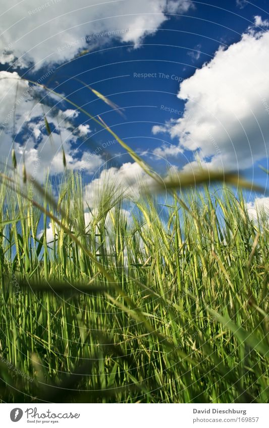 Sky Nature Blue White Green Summer Plant Clouds Landscape Environment Air Field Climate Beautiful weather Cornfield Barley
