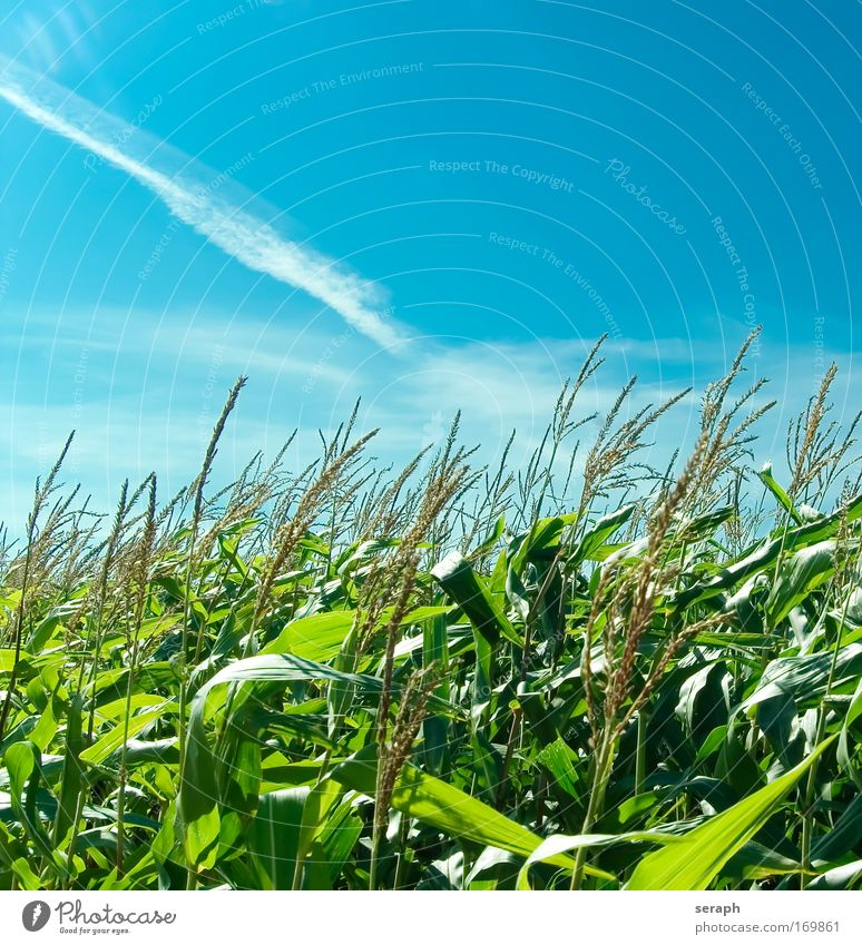 Popcorn Nature Green Leaf Clouds Maize Landscape Field Growth Grain Harvest Rural Verdant Agriculture