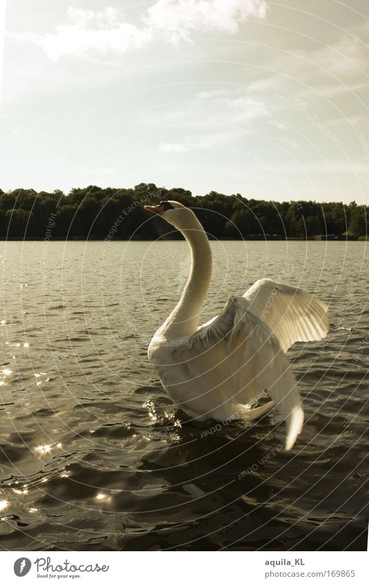 Dreamlike Colour photo Exterior shot Deserted Copy Space top Morning Back-light Animal portrait Wild animal Bird Swan 1 Determination Feather Wing Water Sun