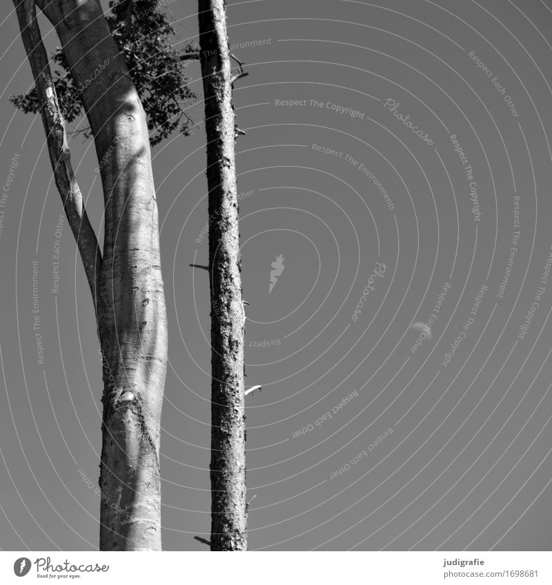 beech, pine, moon Environment Nature Landscape Plant Sky Cloudless sky Moon Summer Climate Beautiful weather Tree Natural Gray Pine Beech tree