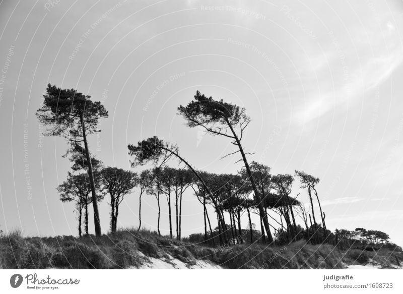 western beach Environment Nature Landscape Plant Climate Wind Tree Pine Dune Coast Baltic Sea Western Beach Fischland-Darss-Zingst Growth Natural Wild