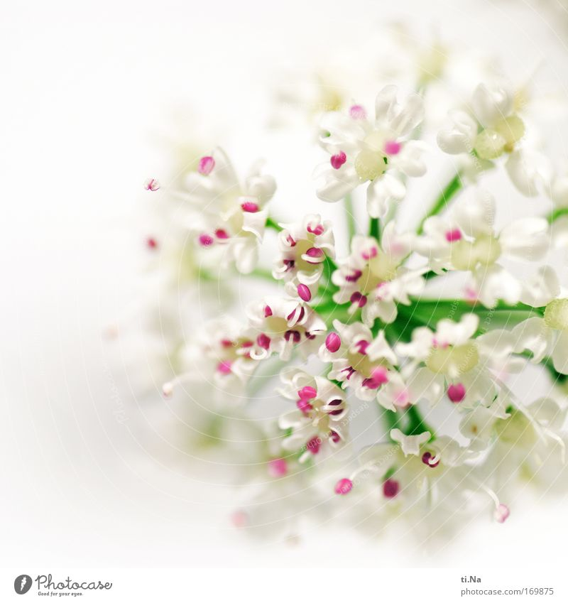 a dash of pink Nature Plant Spring Summer Blossom Wild plant Umbellifer Aegopodium podagria angelica Meadow Field Blossoming Faded Growth Fragrance Green Pink