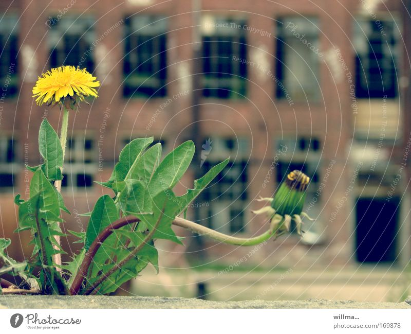 blooming dandelion in front of old factory Economy Construction site Unemployment Industry Flower Wild plant Dandelion Chemnitz Industrial plant Factory Ruin