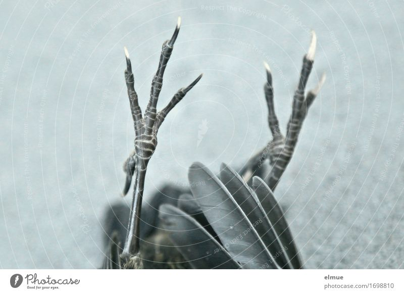 the beep no longer Hunting Dead animal Bird Claw Animal foot bird leg Feather Magic Gothic style Scene Lie Thin Authentic Creepy Black Dedication Grief Death