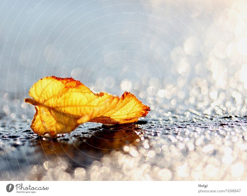 Nature Plant Water White Leaf Environment Street Yellow Autumn Natural Small Exceptional Gray Brown Rain Glittering