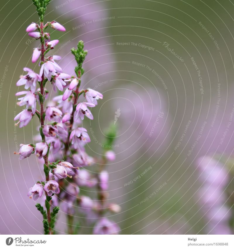 flowering heather Environment Nature Plant Summer Beautiful weather Blossom Wild plant Heather family Blossoming Growth Esthetic Uniqueness Small Natural Gray
