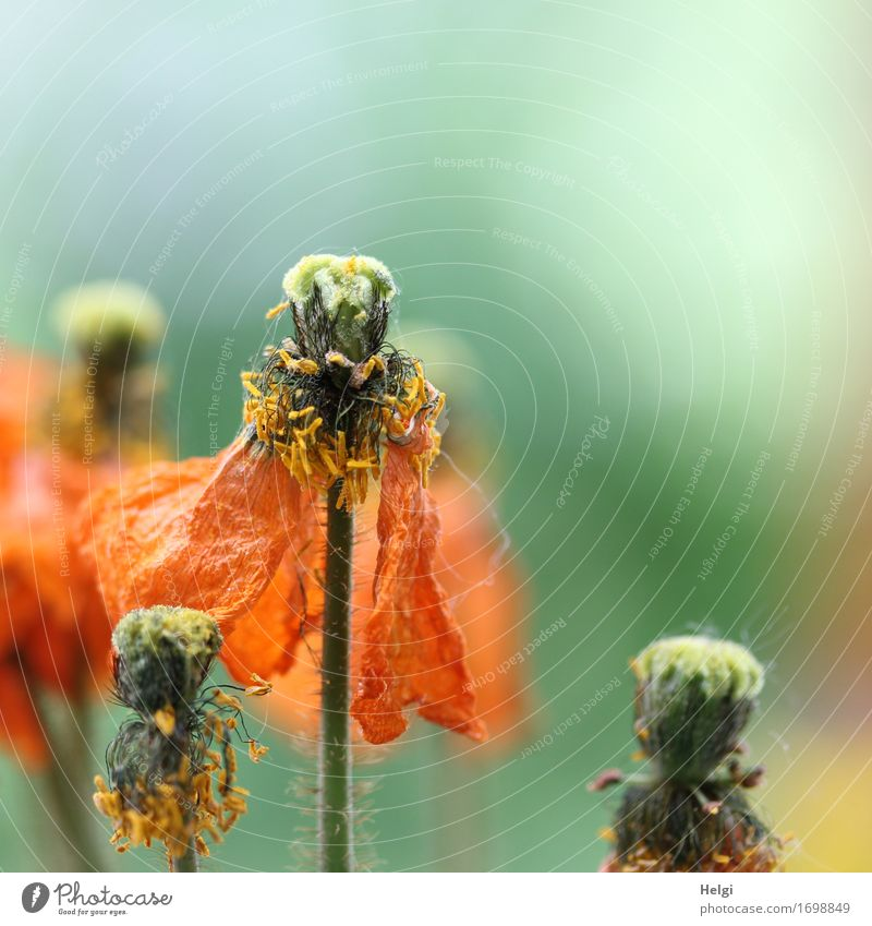 transient Environment Nature Plant Summer Flower Blossom Poppy blossom Poppy capsule Stalk Blossom leave Pollen Garden Blossoming Stand Faded Growth Authentic