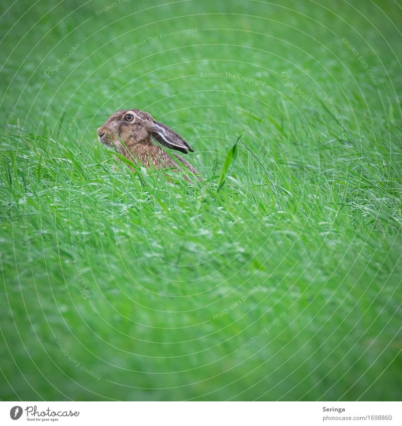 Grasshopper with long ears Nature Landscape Plant Animal Park Meadow Field Forest Animal face Pelt Claw Paw 1 To feed Feeding Crouch Hare & Rabbit & Bunny