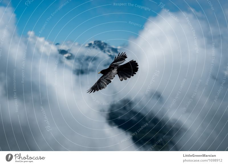 Cloudsurfer Freedom Mountain Nature Animal Air Sky Horizon Summer Wind Alps Flying Esthetic Bright Blue Black White Bravery Determination Movement Speed Bird