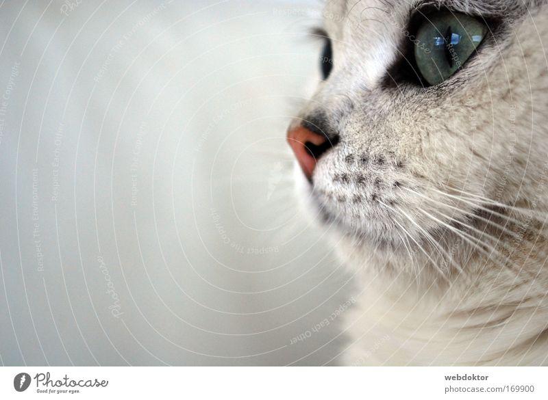 Beautiful White Eyes Animal Dream Cat Wait Elegant Cute Pet Cuddly Snout Sympathy Marvel