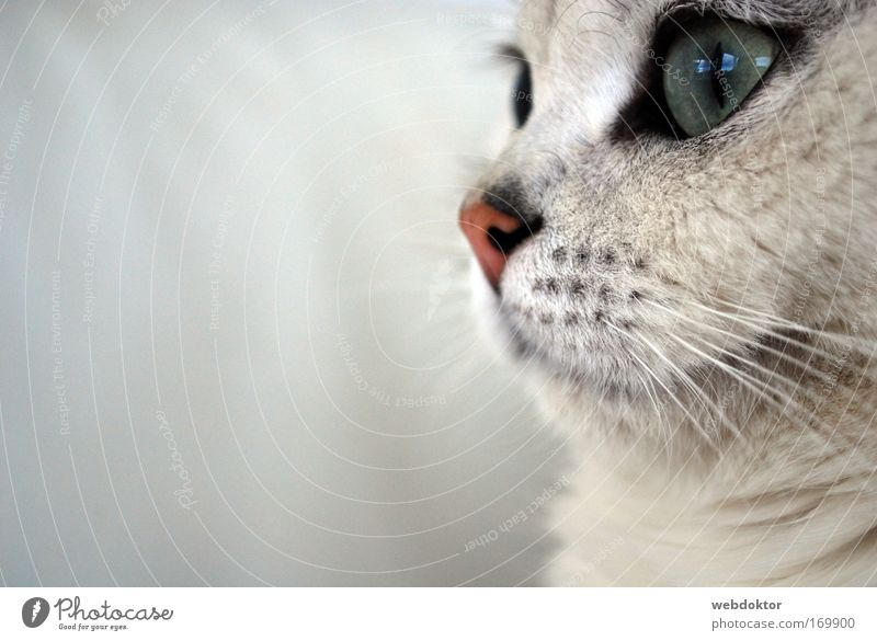 Beautiful White Eyes Animal Dream Cat Wait Elegant Cute Pet Cuddly Snout Sympathy Marvel