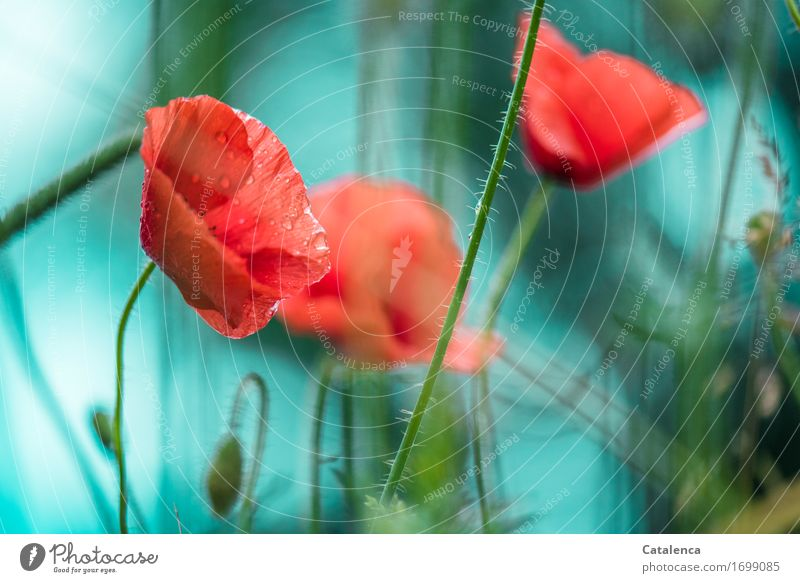 poppy Nature Plant Drops of water Bad weather Rain Flower Blossom Poppy Garden Blossoming Fragrance Growth Blue Red Turquoise Joy Design Elegant wet poppy