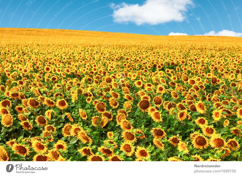 sunflowers Cooking oil Nature Landscape Plant Sky Clouds Sun Summer Beautiful weather Flower Agricultural crop Field Growth Sustainability Positive
