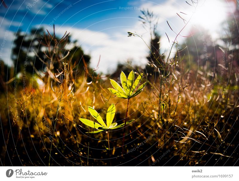sunbathe Environment Nature Landscape Plant Sky Clouds Spring Climate Beautiful weather Bushes Leaf Agricultural crop Lupin Lupin leaf Growth Thin Healthy Near