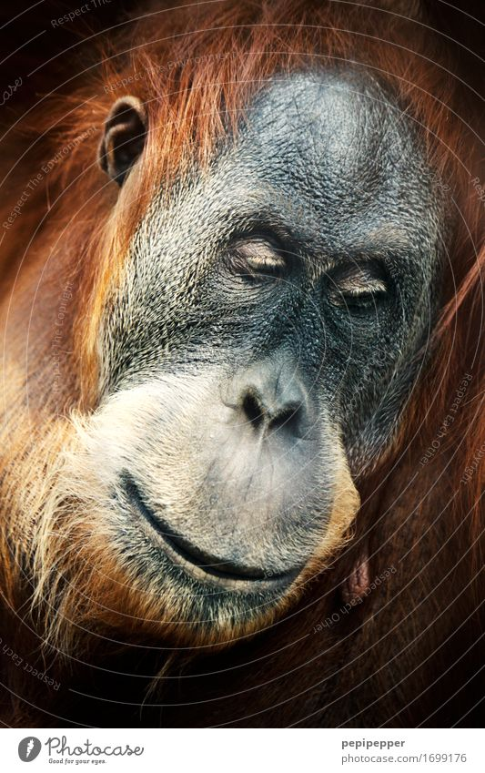human Zoo Face Eyes Nose Mouth Lips Animal Wild animal Animal face Pelt Monkeys Orang-utan 1 Think Dream Exceptional Brown Emotions Moody Sadness Concern