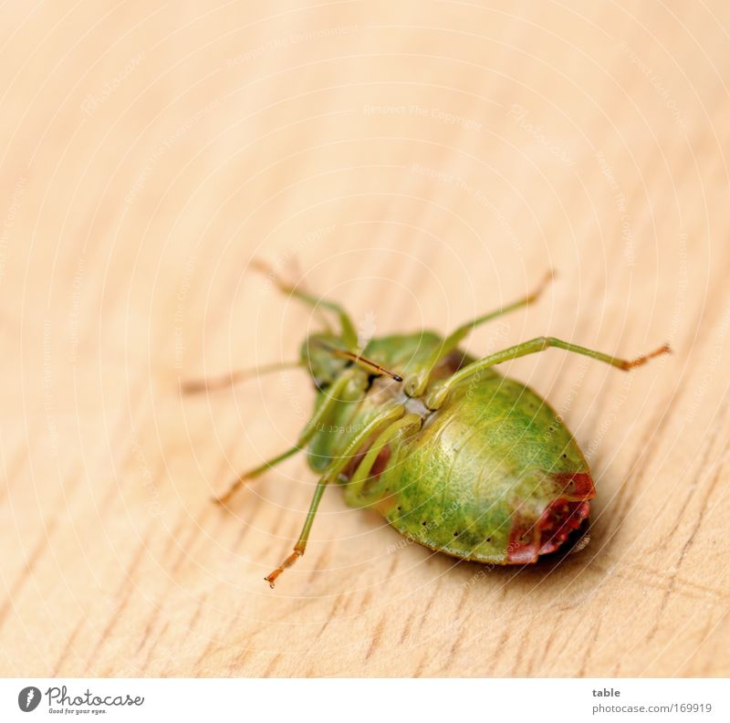 helpless Colour photo Macro (Extreme close-up) Copy Space top Nature Animal Wild animal Beetle Insect 1 Movement Crawl Lie Threat Disgust Free Large Small Cute
