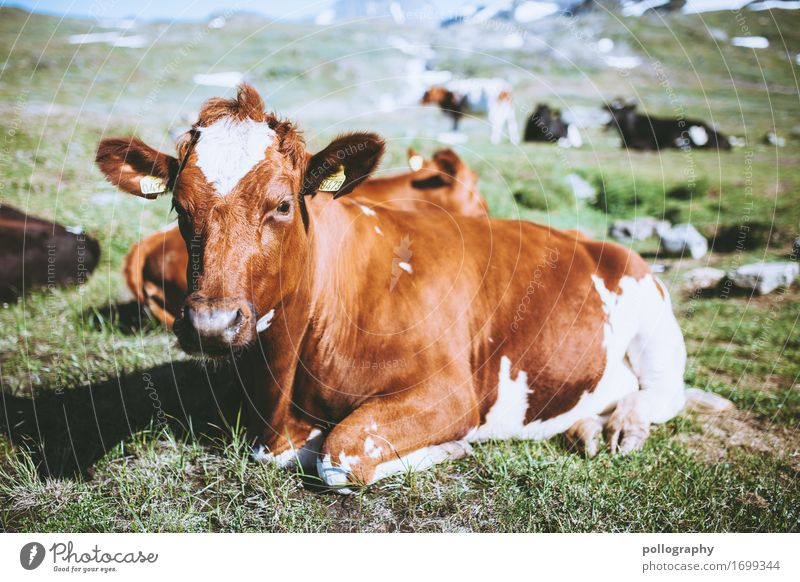 Look at this! Nature Earth Beautiful weather Grass Meadow Animal Farm animal Cow Herd Lie Colour photo Exterior shot Deserted Day Deep depth of field