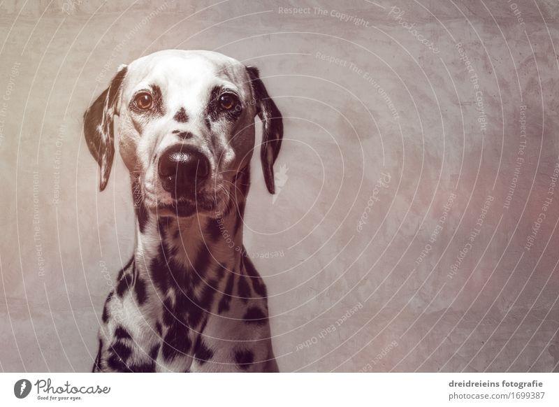 application photo Wall (barrier) Wall (building) Facade Animal Pet Dog 1 Observe Looking Wait Elegant Success Friendliness Cute Cool (slang) Brave Loyal Secrecy