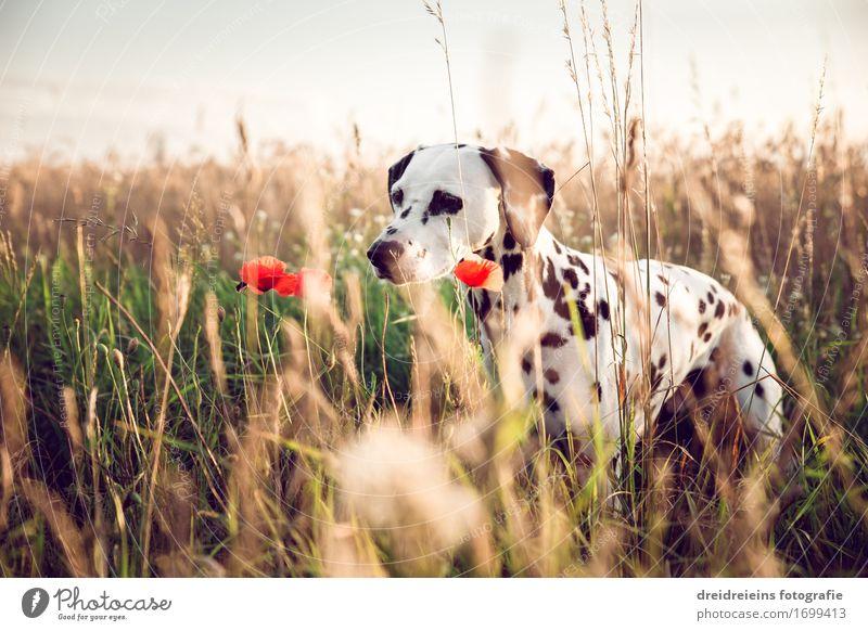 Dog Nature Plant Summer Animal Warmth Natural Field Idyll Wait Joie de vivre (Vitality) Observe Cute Friendliness Curiosity Point