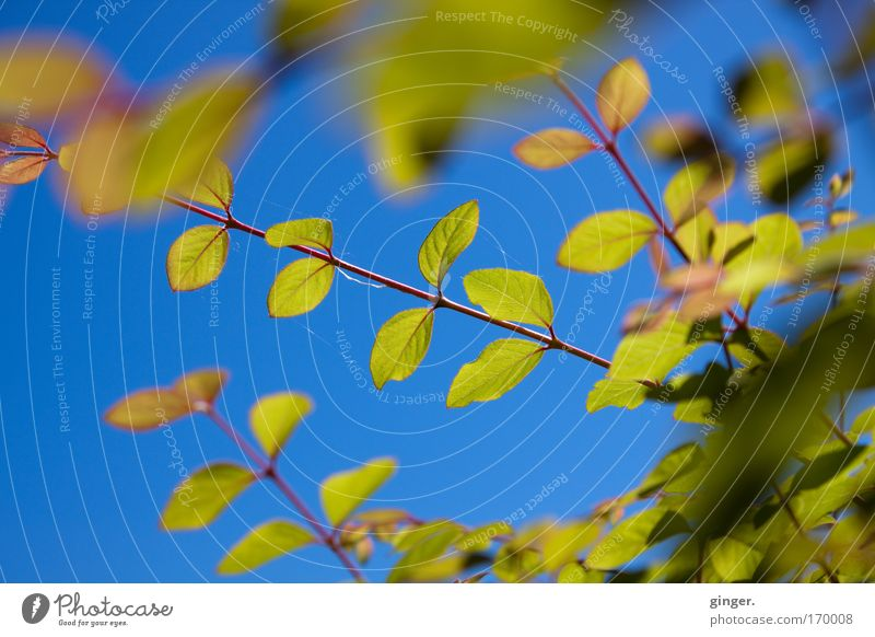 Sky Nature Blue Green Plant Leaf Spring Fresh Bushes Beautiful weather Cloudless sky Blue sky Twigs and branches Play of colours Translucent