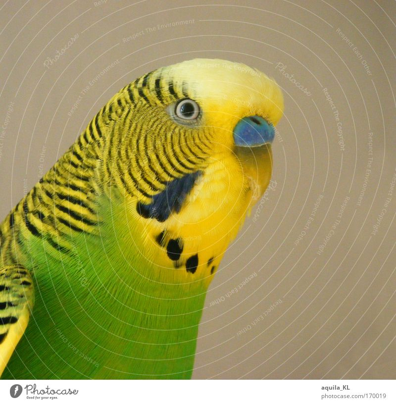 Animal Eyes Waves Bird Fear Wild animal Feather Listening Stress Pet Beak Australia Love of animals Parrots Isolated Image