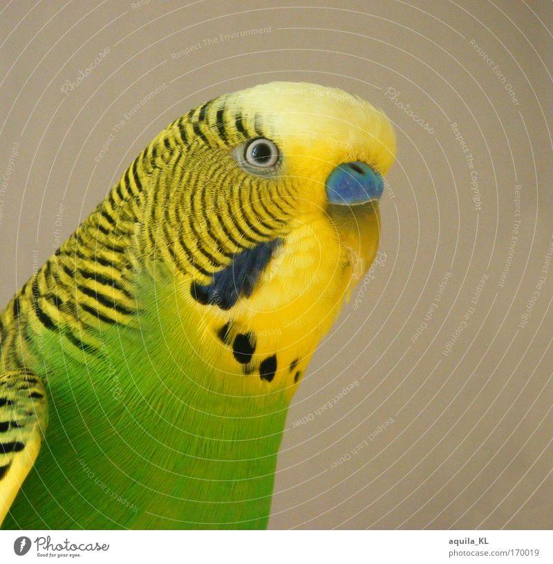 Animal Eyes Waves Bird Fear Wild animal Feather Listening Stress Pet Beak Australia Love of animals Parrots Isolated Image