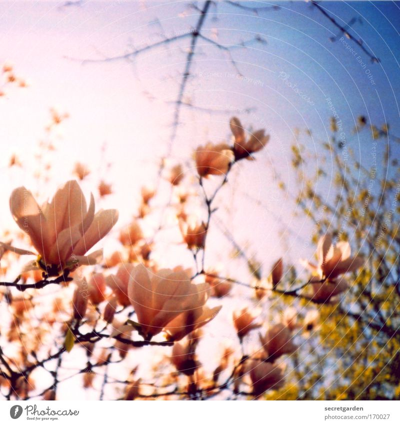 Lomography Nature Tree Blue Plant Summer Morning Blossom Spring Park Pink Flower Environment Magnolia plants Esthetic Holga