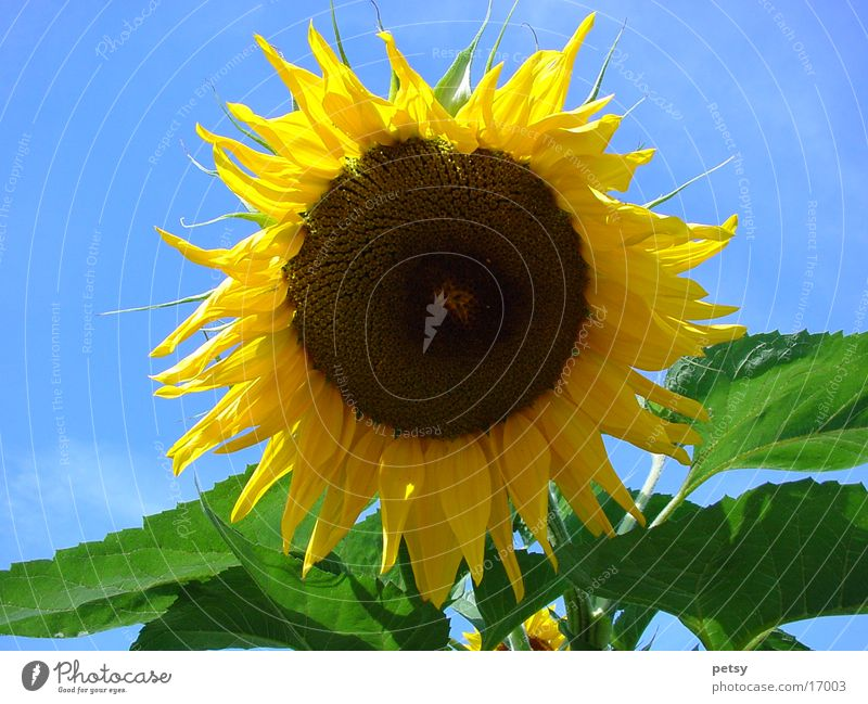 Nature Sun Flower Summer Yellow Garden Sunflower