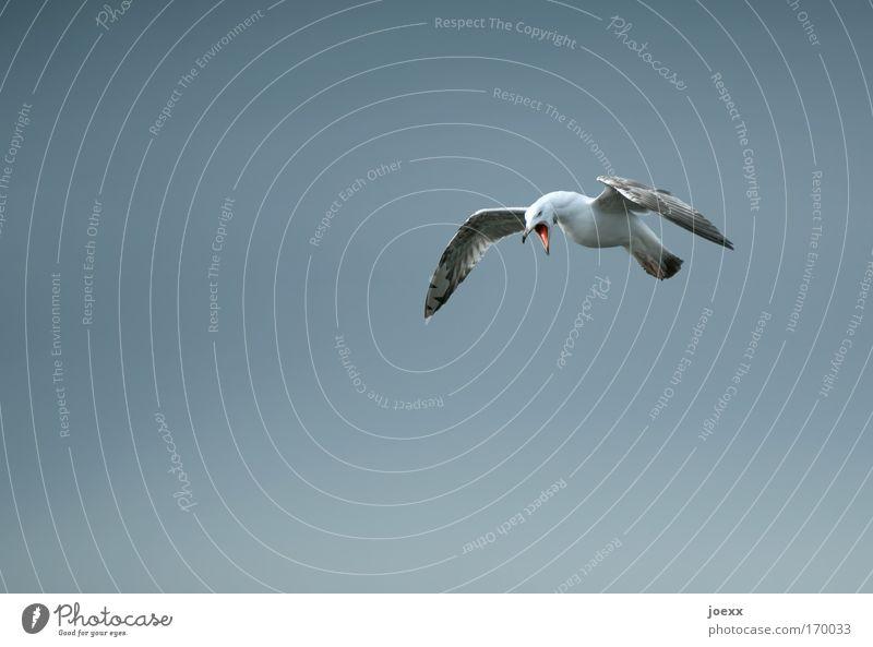 Sky Animal Gray Bird Open Flying Anger Scream Seagull Evil Beak Aggression Aggravation Frustration Hatred Resolve