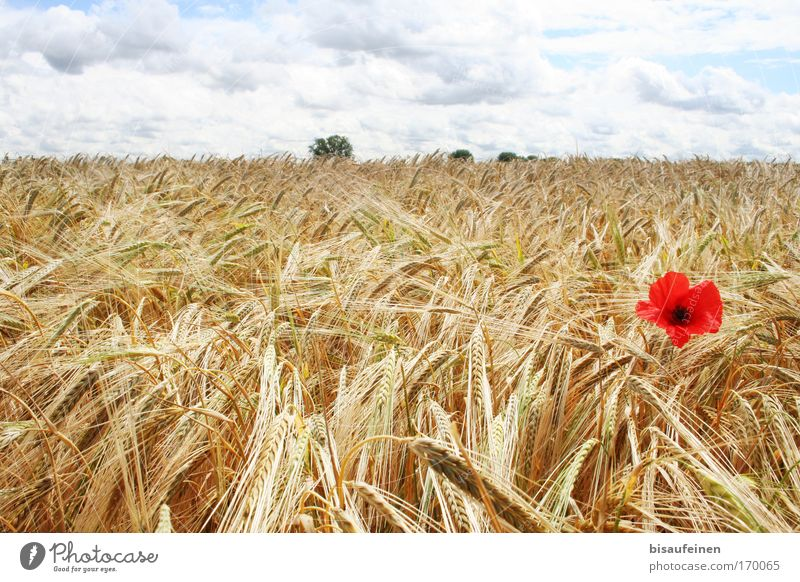 "poppy seed Colour photo Exterior shot Deserted Day Sunlight Panorama (View) Landscape Sky Clouds Horizon Summer Plant Flower ""Poppy flower Barley Grain"
