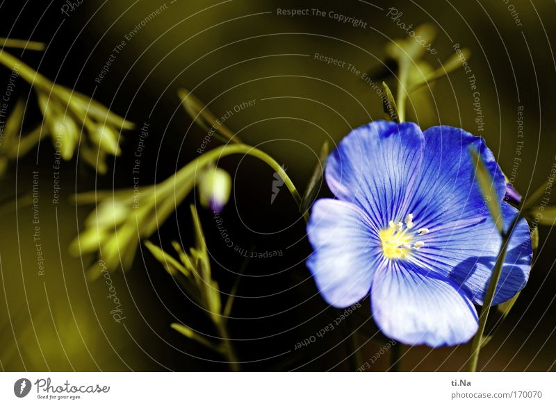 Blue Green Flower Yellow Meadow Blossom Field Esthetic Growth Blossoming Past Medicinal plant Weed Agricultural crop Wild plant