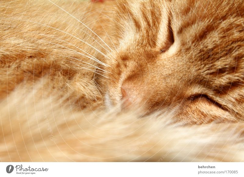 Cat Beautiful Eyes Happy Orange Contentment To enjoy Soft Sleep Nose Protection Safety Trust Pelt Pet Animal face