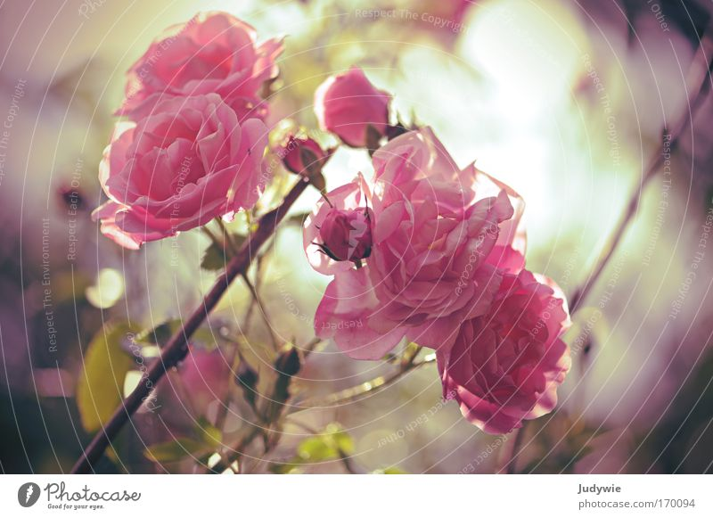 In the rose garden Colour photo Exterior shot Deserted Evening Fragrance Mother's Day Nature Plant Spring Summer Beautiful weather Flower Rose Blossom Park