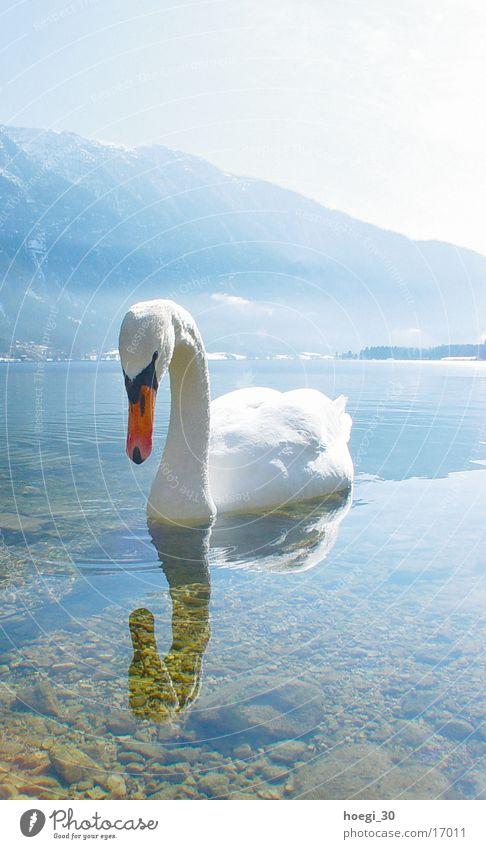 swan Swan Portrait format Lake Light White Transport Water Mountain Bright Blue