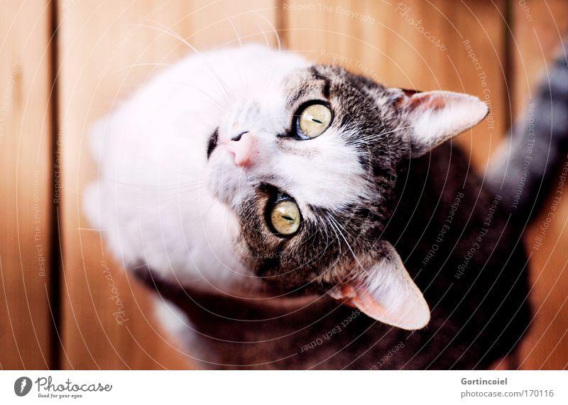 Beautiful White Red Black Eyes Animal Yellow Cat Brown Wait Sit Communicate Ear Animal face Pelt Curiosity