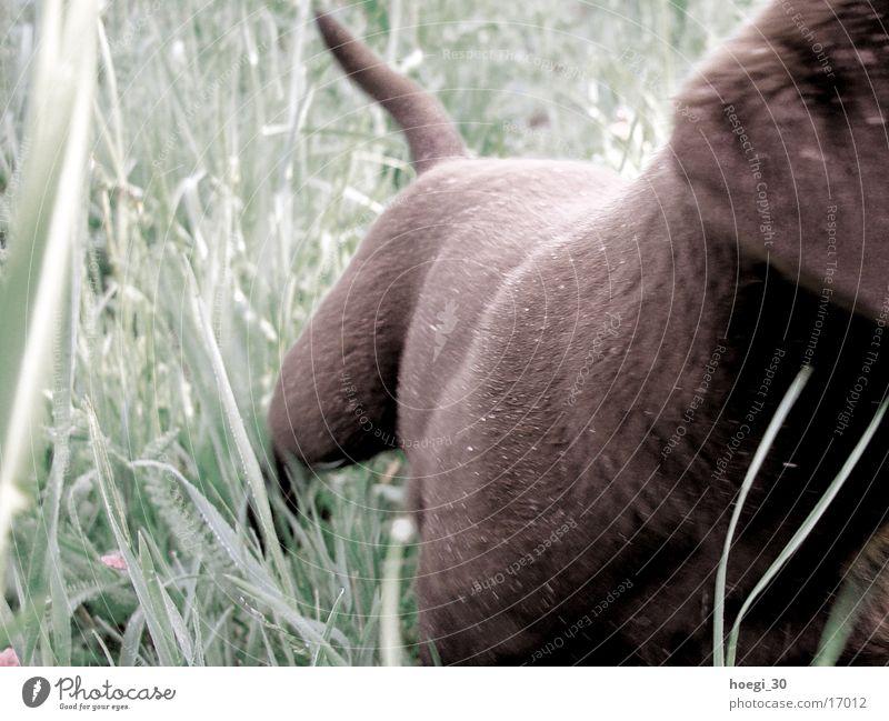 teddy Dog Pelt Meadow Green Labrador Teddy bear Brown chocolate wag