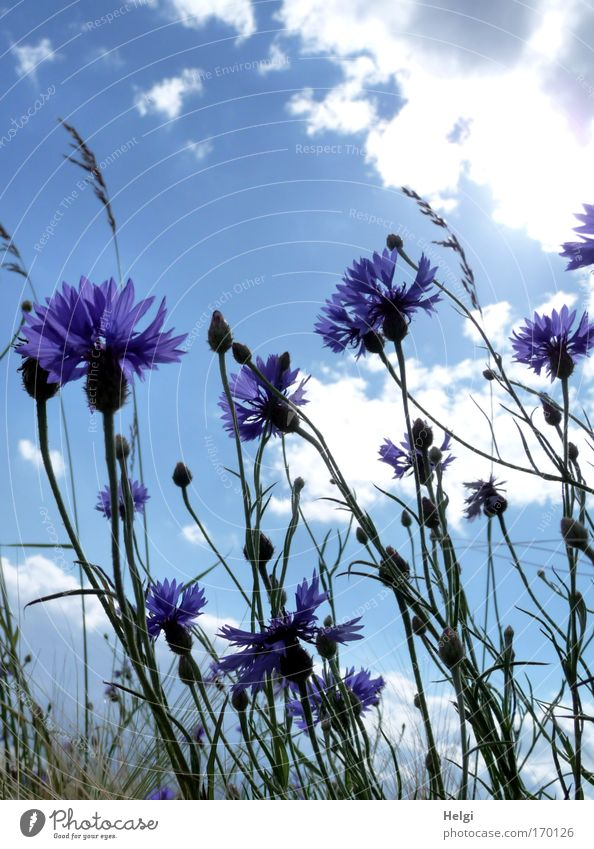 Blossoms and buds of cornflowers in front of blue sky with clouds Colour photo Multicoloured Exterior shot Close-up Deserted Copy Space top Day Shadow Sunlight