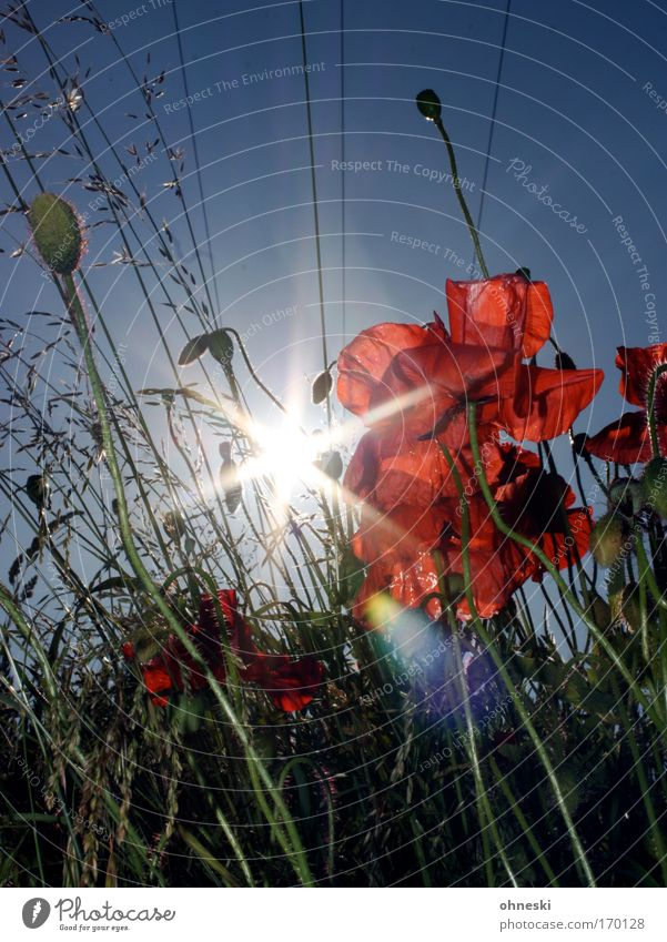 Nature Sky Sun Flower Blue Plant Red Summer Blossom Grass Moody Glittering Environment Growth Wild Blossoming