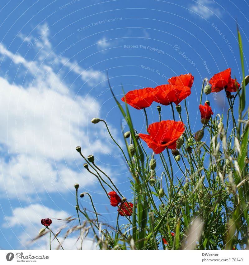 Sky Nature Blue Red Plant Sun Summer Flower Clouds Calm Environment Meadow Blossom Dream Healthy Dance