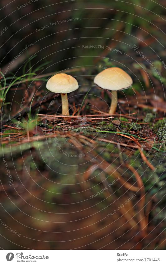 two small mushrooms in the forest forest mushrooms Woodground Automn wood toxic mushrooms Autumn feeling Mindfulness in nature autumn mood September