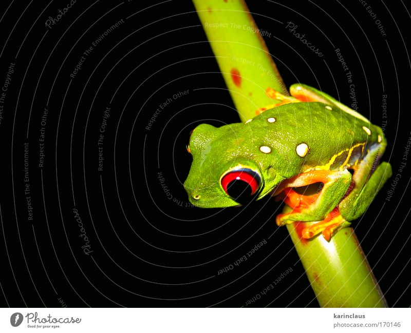 tropical tree frog Nature Green Black Animal Dark Environment Sit Climate Wild animal Frog Exotic Amphibian Tropical