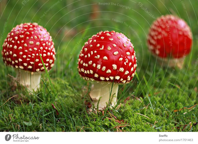 three Little Red Riding Hoods in a green forest meadow Toadstools mushrooms toxic mushrooms symbol of luck Lucky people forest mushrooms Glade Amanita Muscaria