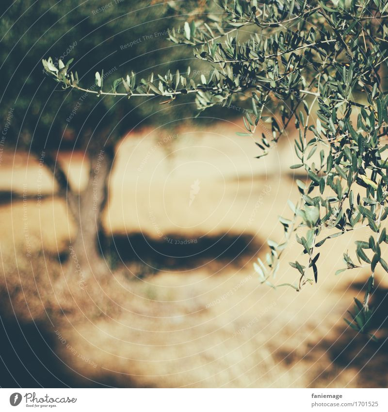 olive grove Nature Hot Bright Provence Olive tree Olive grove Square Shallow depth of field Olive leaf Warmth Southern France Tropical fruits Sunbeam Summer