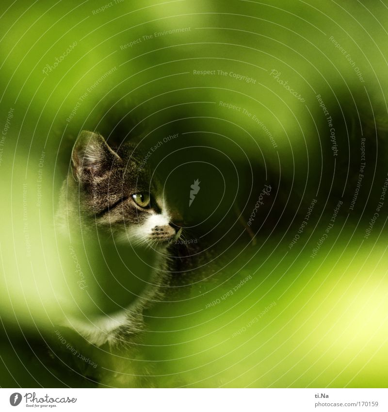 mouse hunter Hunting Animal Pet Wild animal Cat 1 Observe Discover Astute Natural Curiosity Brown Green Black White Watchfulness Endurance Tiger skin pattern
